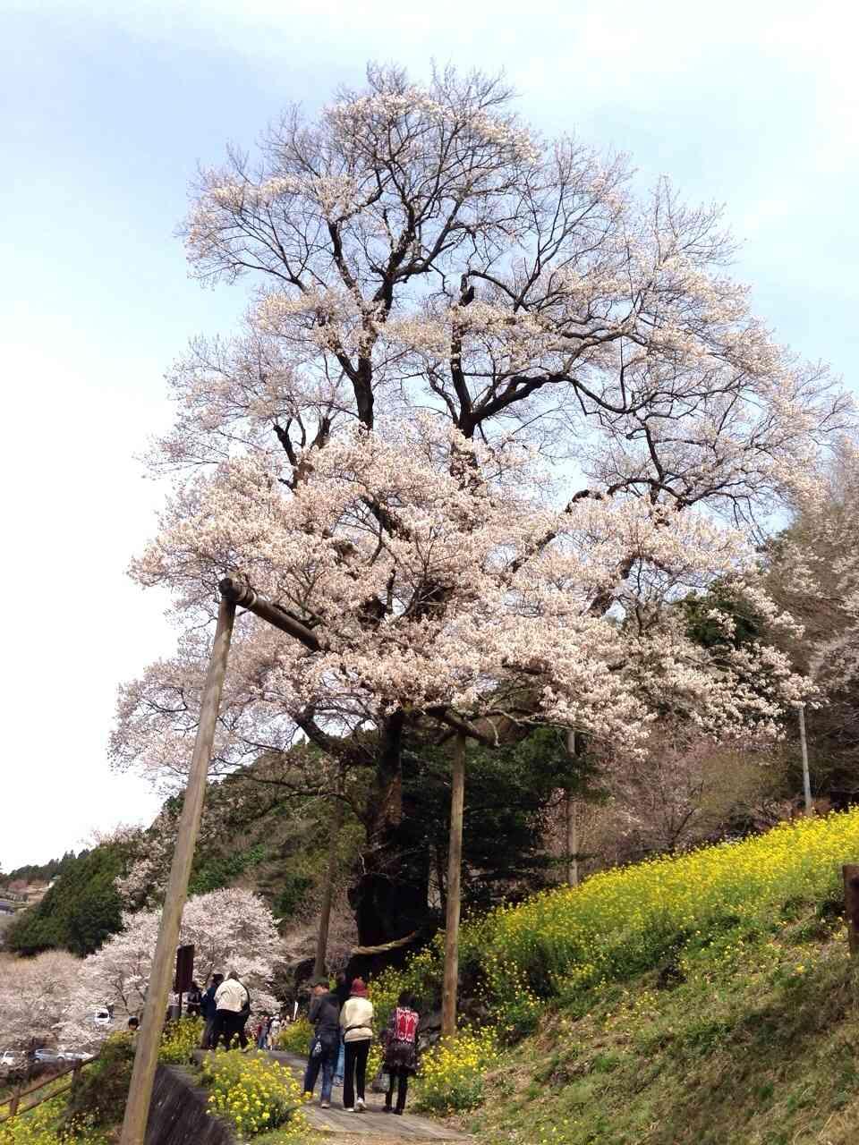 桜咲く!美しき日本の、そして世界の桜