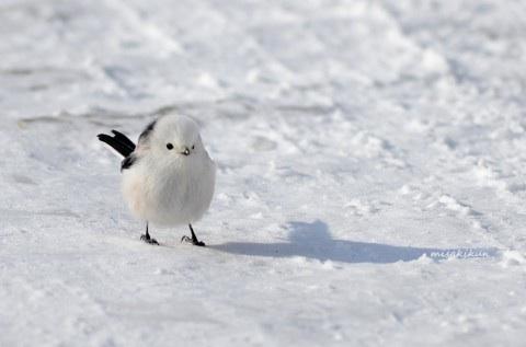 雪の上を歩くシマエナガ