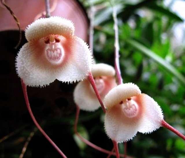 この世にはサルの顔そっくりな花があった!衝撃の写真いろいろ
