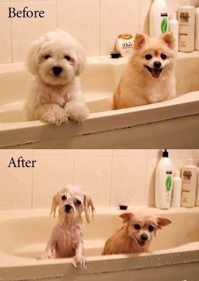 ポメラニアンをお風呂に入れた結果…