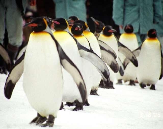 ウィンナーを可愛いペンギンの形にカットする道具を使った結果www