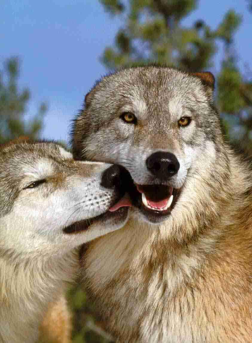オオカミのみっともな~い姿が激写されるw