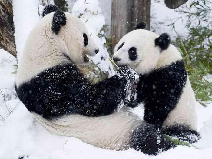 パンダが大雪にテンションMAX ふかふか地面にダイブしてごろんごろん転がる