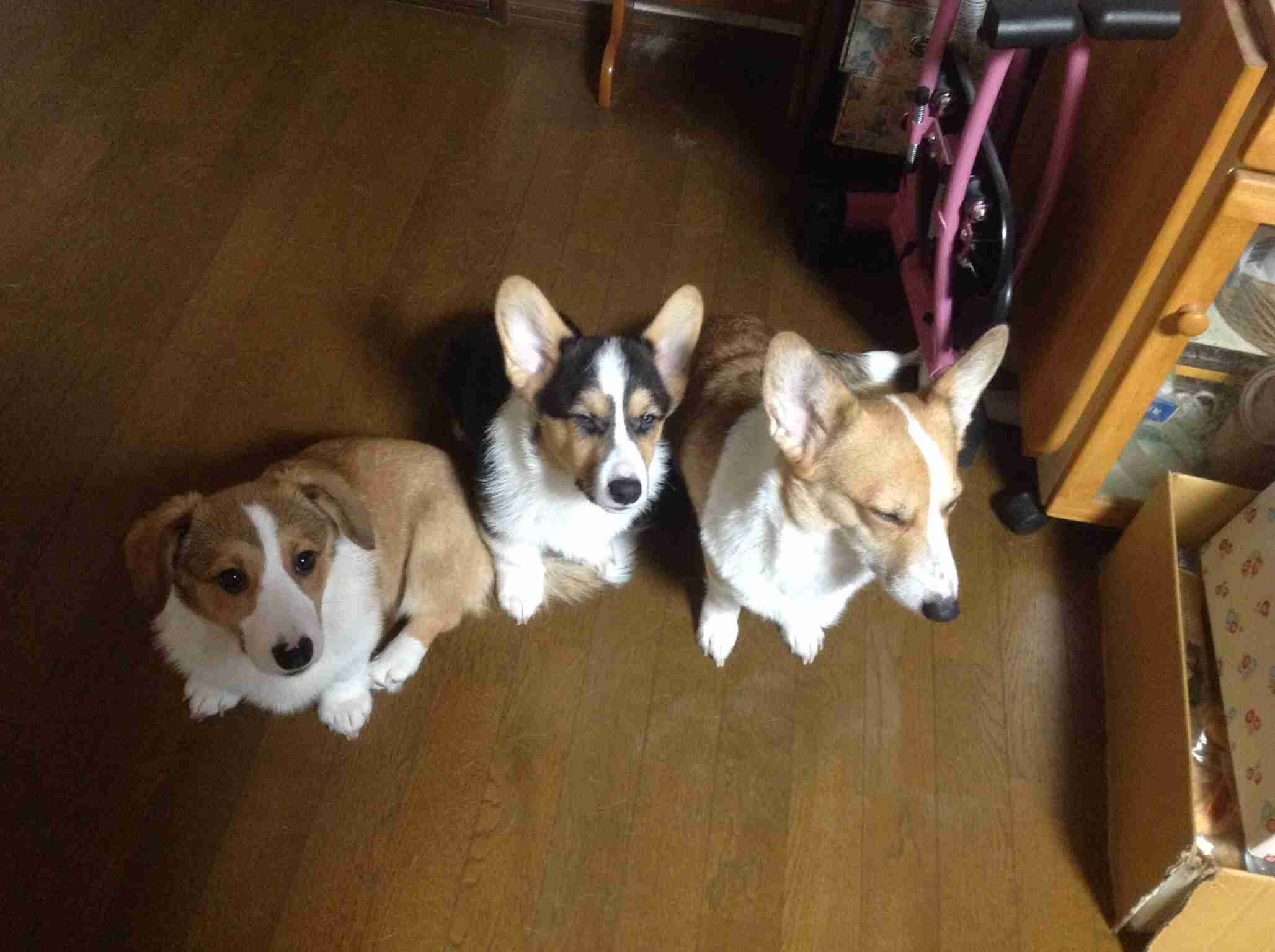 最も人気の犬は23年連続「ラブラドール・レトリバー」 人気犬種ランキング