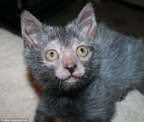ネコに新たなる品種『リュコイ』が誕生!
