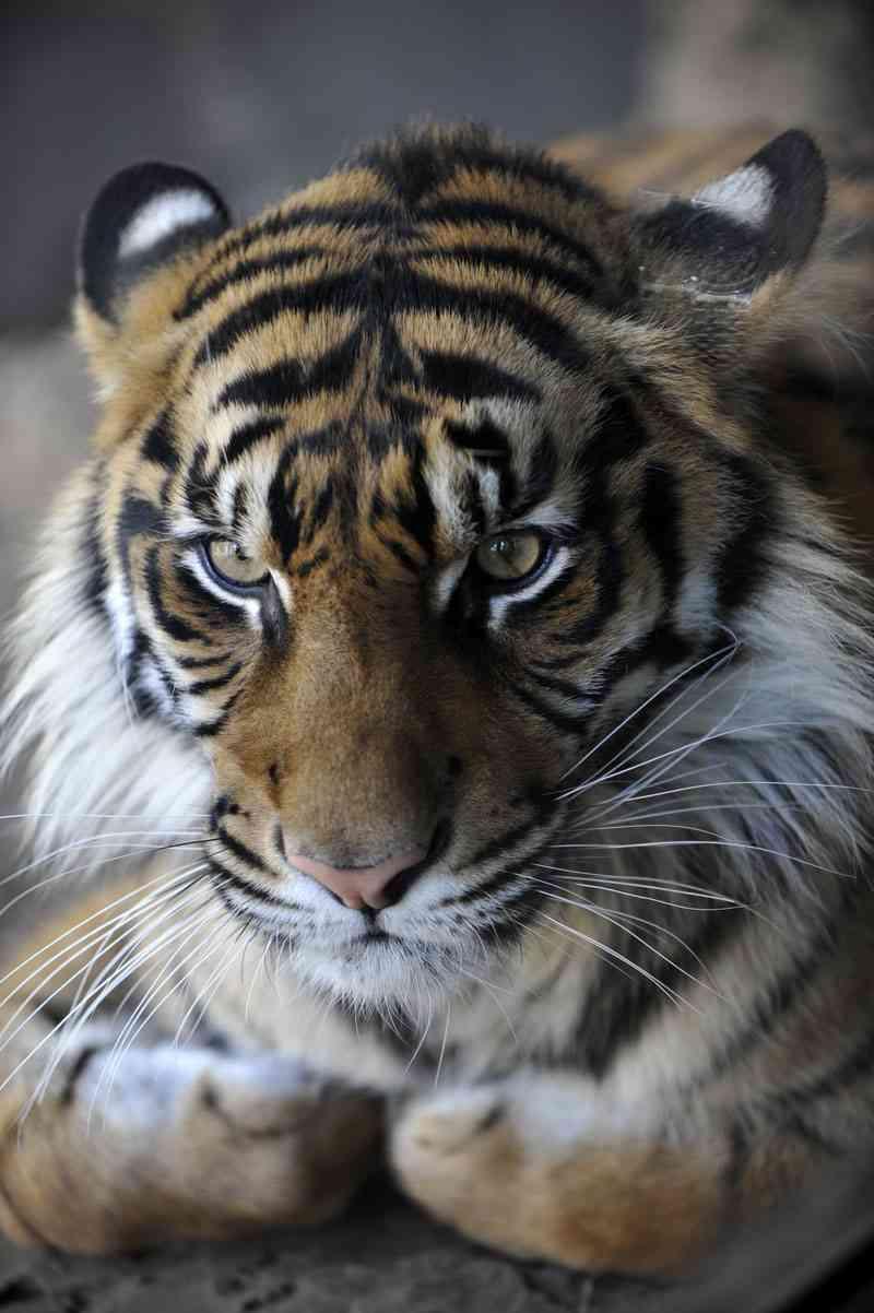 大雪の影響で、動物園のトラが大はしゃぎしてるww