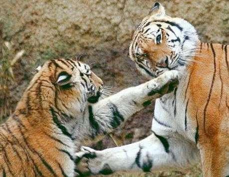 中国の動物園、トラに自分を食べさせようとした男性を救出