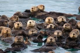 水族館からラッコがいなくなる可能性… 捕獲禁止や近親交配で全国に18頭だけ