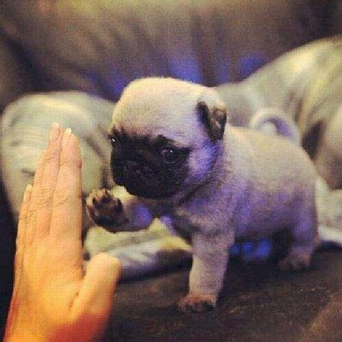飼い主とハイタッチする子犬パグ