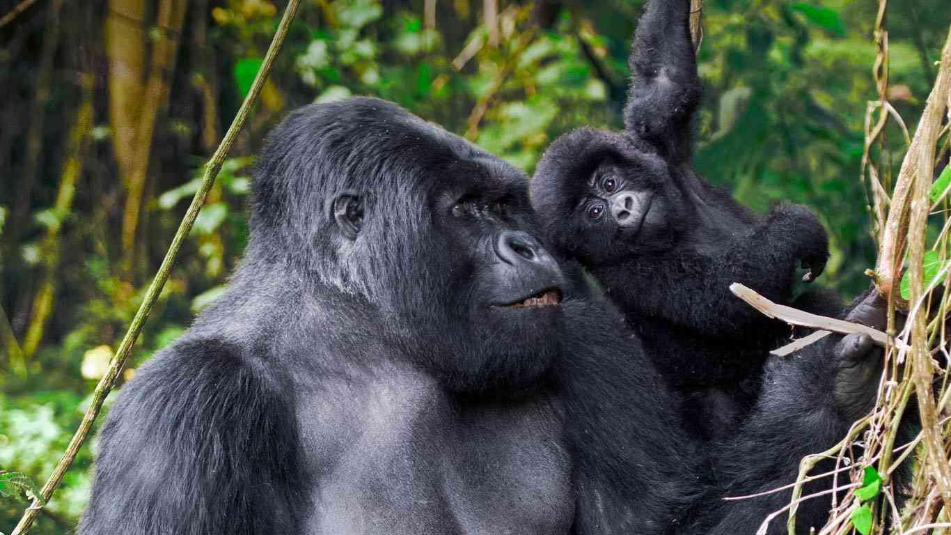 子猿とイケメンゴリラ