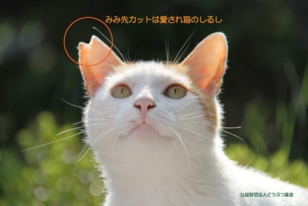 【徳之島】希少ウサギ守るため、島の猫3,000匹の不妊去勢プロジェクト進む
