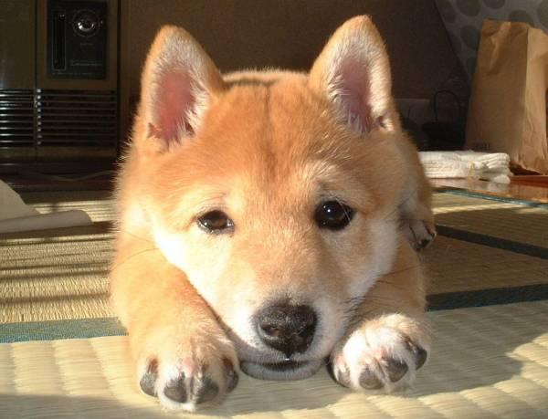まだお風呂に入っていないのに入った気分で犬かきをする柴犬がカメみたいにかわいい