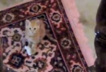 【なぜなのか】2階のトイレットペーパーをどうしても階下に引っ張っていきたい!子ネコの奮闘の一部始終