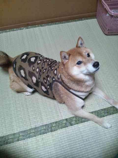 犬やネコに服を着せることについて