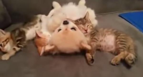 子猫が隣で寝てるからか気を遣って動かない子犬が優し可愛すぎる【動画】