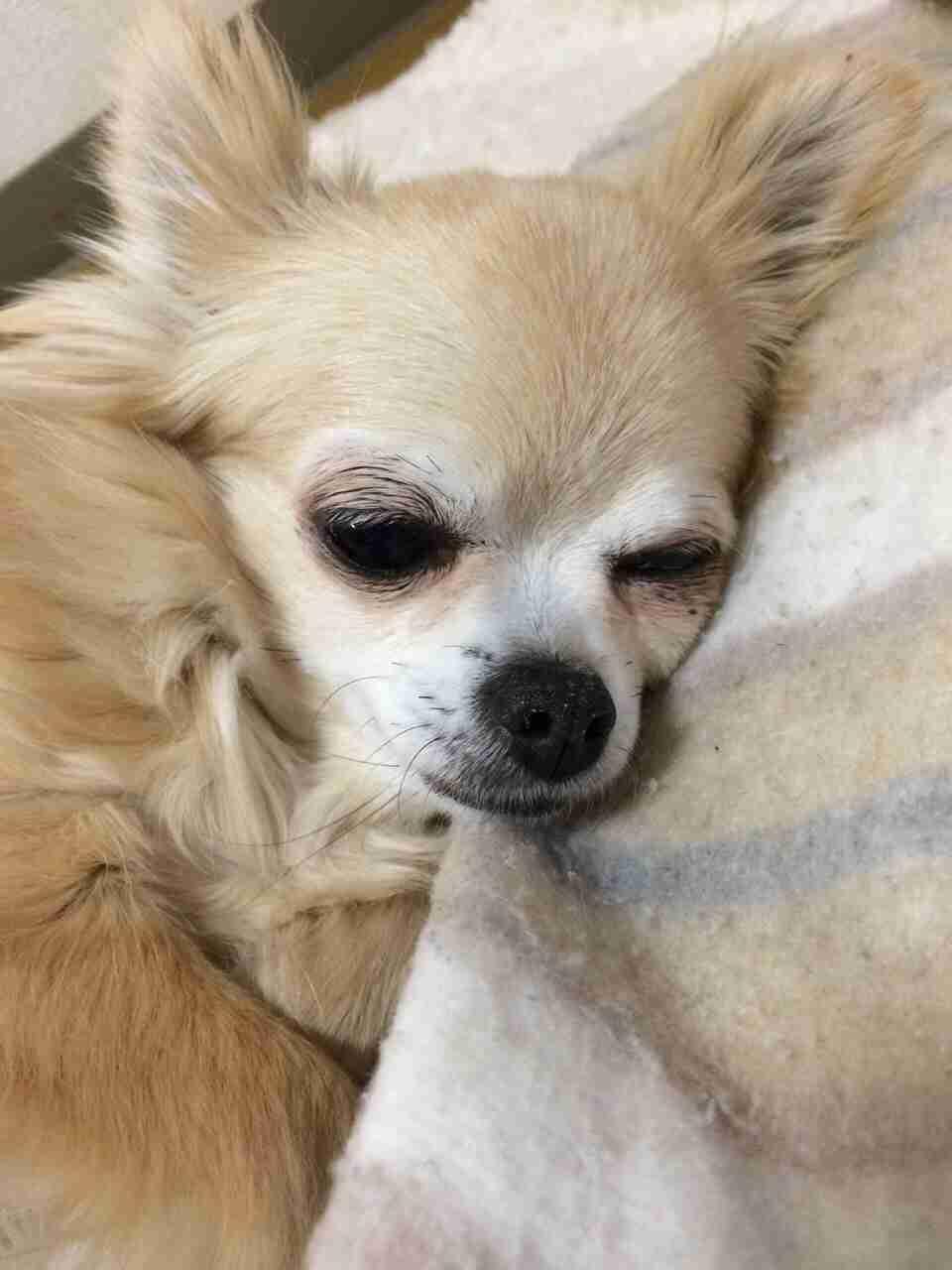 眠たそうな顔のチワワ