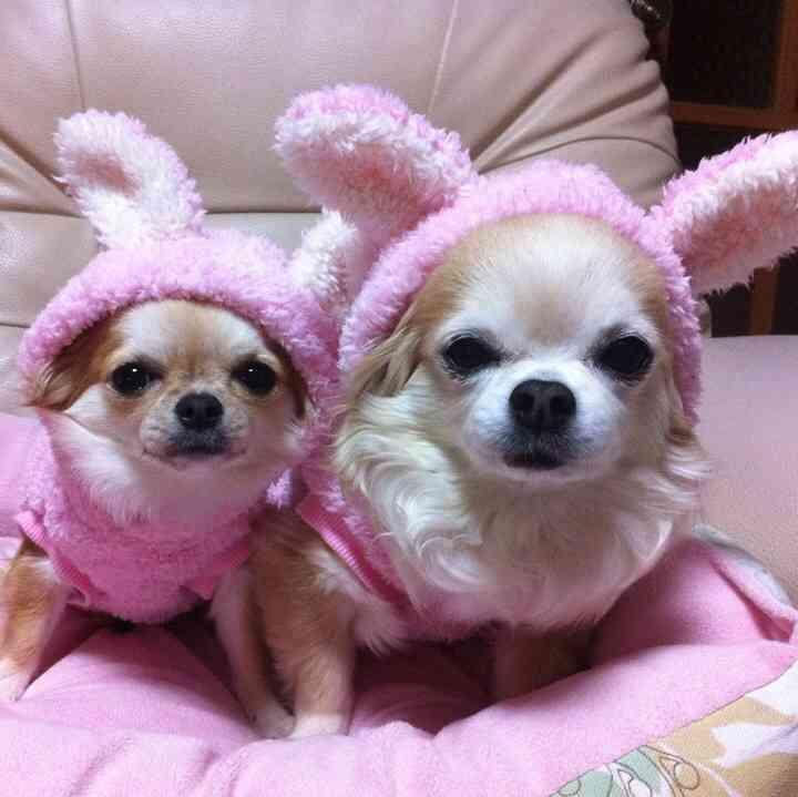 ウサギのフードが可愛いチワワ