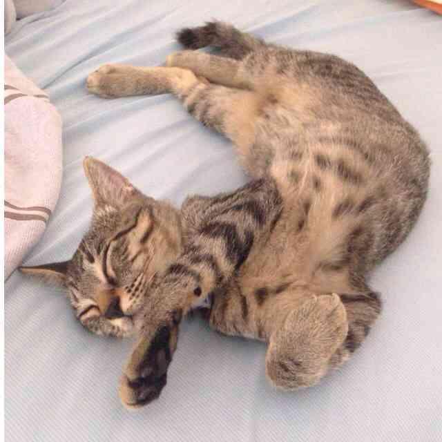 猫のありえない体勢にびっくり!寝相の悪すぎるニャンコが話題に +108  猫のありえない体勢にび