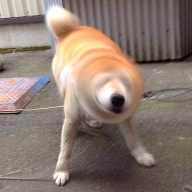 柴犬のかわいさを語るトピ