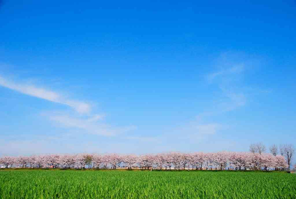 【2016】ガルちゃんお花見会場【桜咲く】