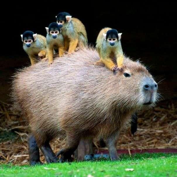 【画像】様々な動物たちにめちゃくちゃ懐かれるカピバラが可愛い