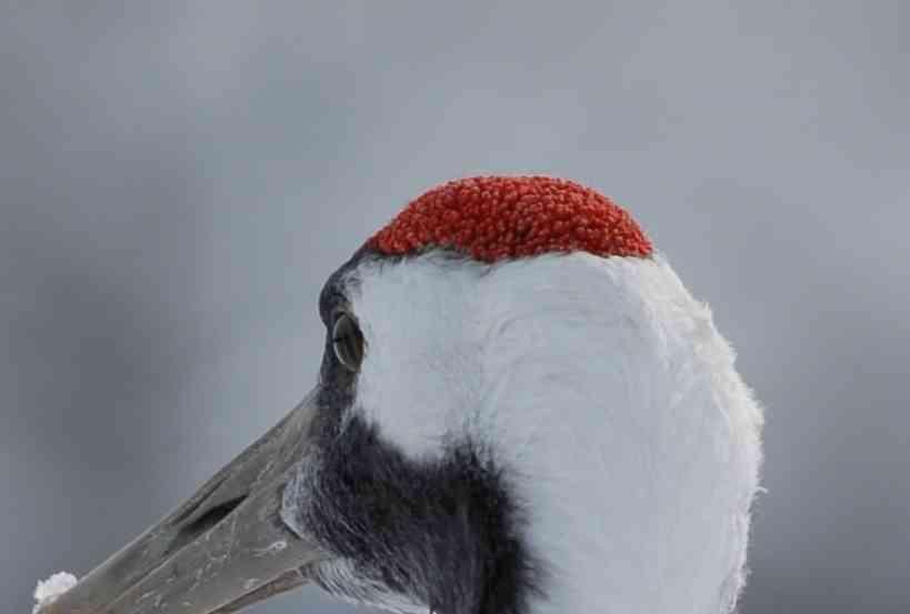 【絶対にググるな】タンチョウ鶴の「頭」の画像破壊力がハンパないと話題に