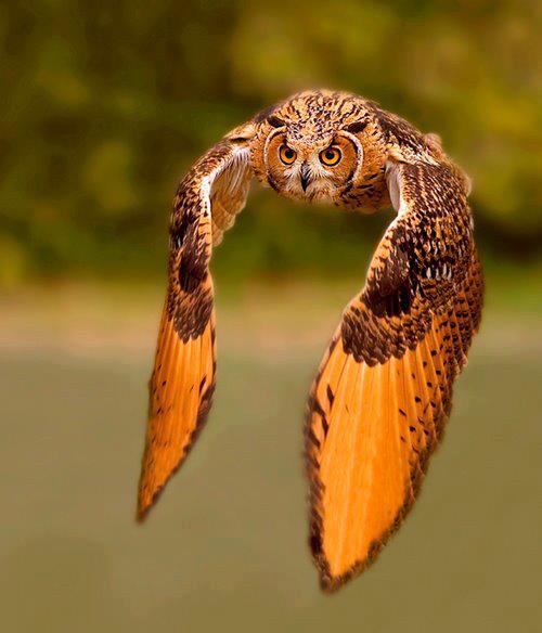 フクロウ画像を集めたい!!