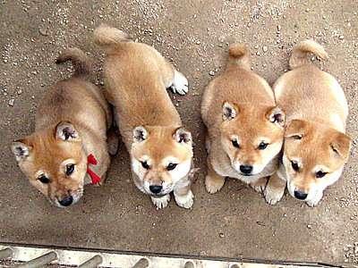 柴犬大好きな人が集まるスレ