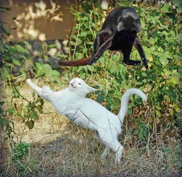 世界一ゆるい猫のケンカ、ペタペタパンチが可愛すぎるw