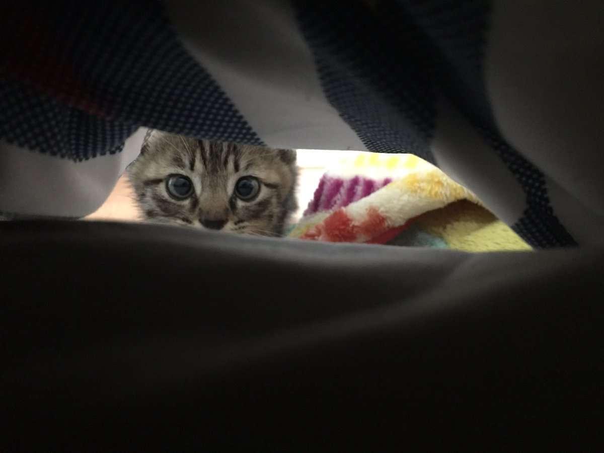 嫁がポケモン捕まえに行ってリアルポケモン(捨て猫)ゲットしてきた 生後1カ月のニャースにメロメロ