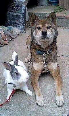 うさぎの形をしたスリッパを仲間だと思い込んでいるウサギの姿が超絶かわいい!