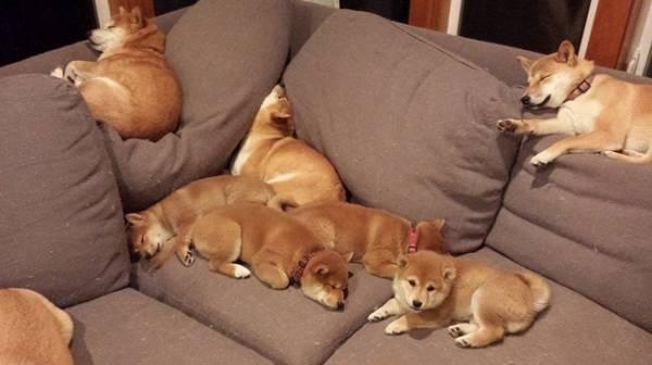 可愛い柴犬の画像を貼るトピ