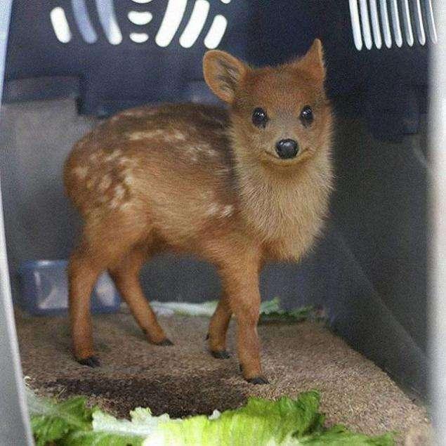 世界一小さいシカ、日本初公開!こども動物自然公園