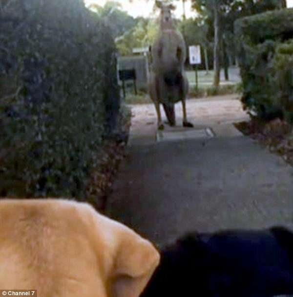 カンガルーが愛犬を羽交い締め→飼い主が勇敢に戦いを挑む動画が話題に