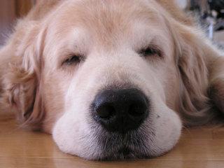 こんなに癒される寝顔があったか! 幸せ気分になれる警戒度ゼロのお昼寝ワンコ