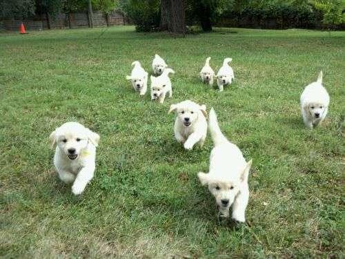 子犬11匹に「おいでー」と呼びかけたなら…覚悟を決めなくてはいけない