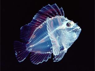 深海生物を貼って語るトピ(苦手な方閲覧注意)