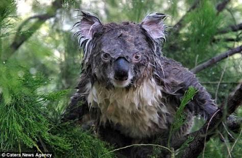 コアラ、展示場にぽつんと1頭 背中に哀愁が漂ってる…