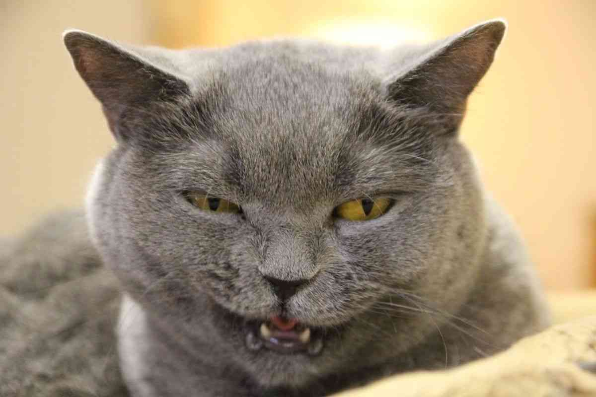 超絶目つき悪い猫の画像!
