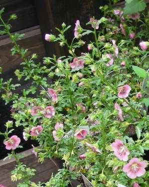 栽培している花や植物を語るトピ