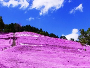 日本各地、様々な種類の桜の画像で癒されるトピ♪