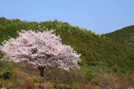 東京で桜開花 全国で最も早く 都心は1月並みの寒さ