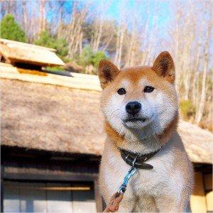 福島DASH村の柴犬「北登」が逝去…視聴者から悲しみの声
