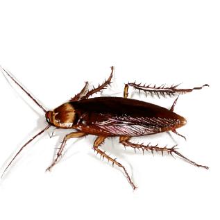 <ゴキブリ>繁殖にオスいらず メス3匹以上で勝手に繁殖してくことが判明