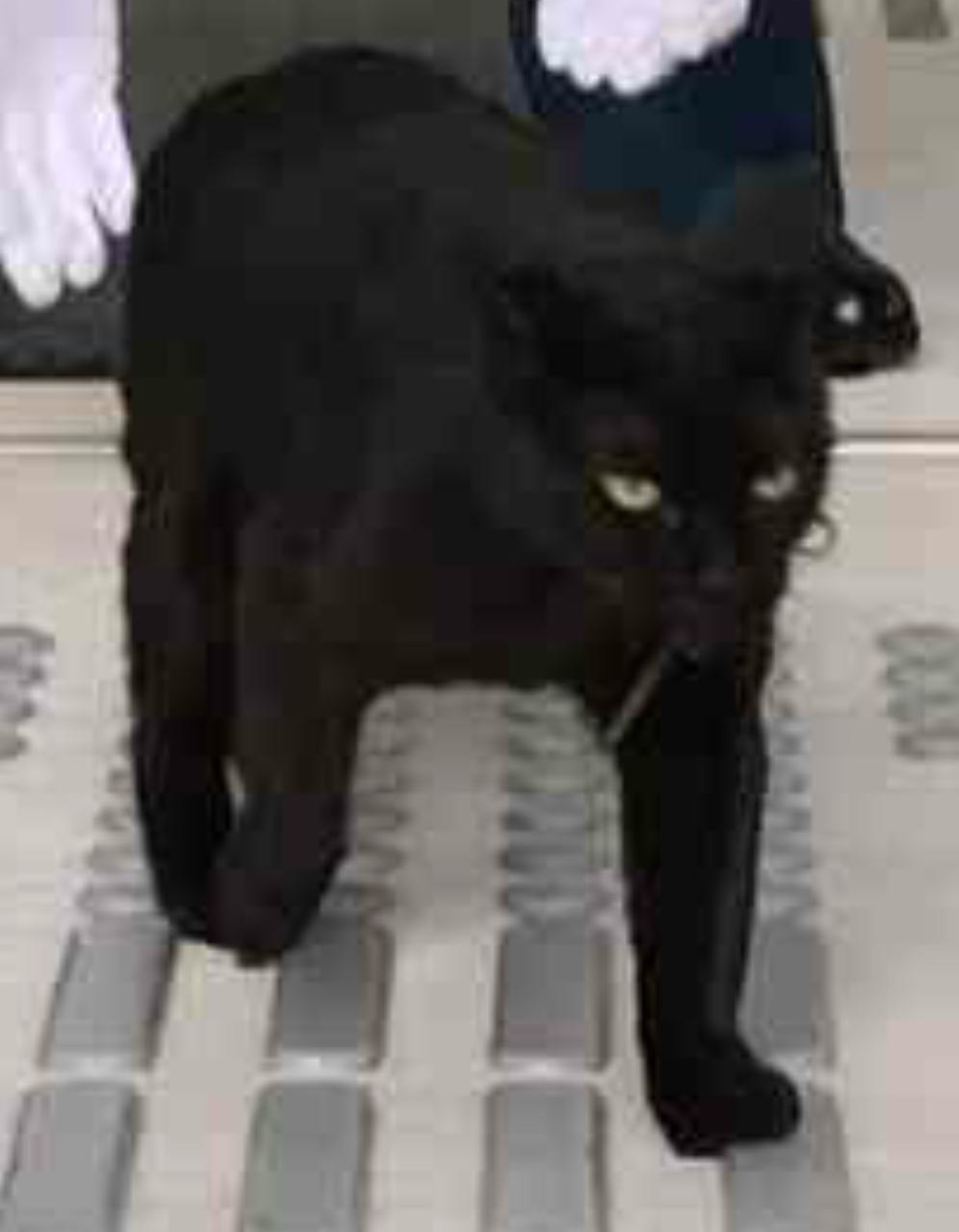 """「ここに仲間の気配がするニャ…」尾道市""""猫まみれ展""""に黒猫が侵入を試みる事案が発生"""