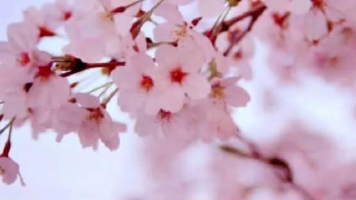桜ソングと言えば?
