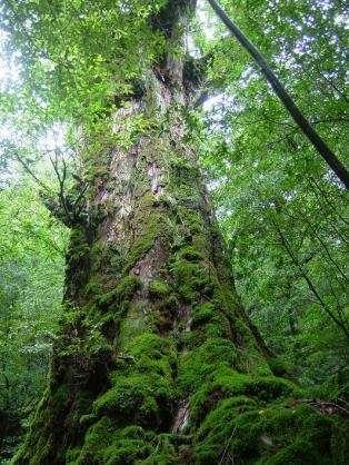 巨木の画像を貼るトピ♪