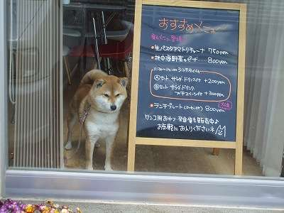 柴犬の画像ください!