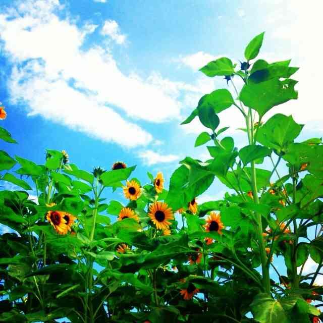 向日葵の画像が見たい!