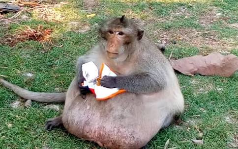 人間が与えたジャンクフードでメタボになった野生の猿 決死のダイエット(タイ)<動画あり>